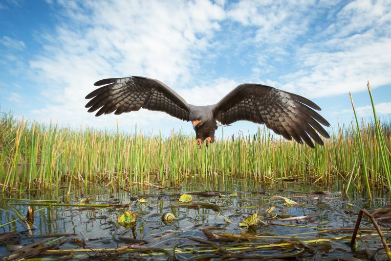 A male Everglades snail kite, an endangered species, swoops down on its sole source of food, the apple snail.