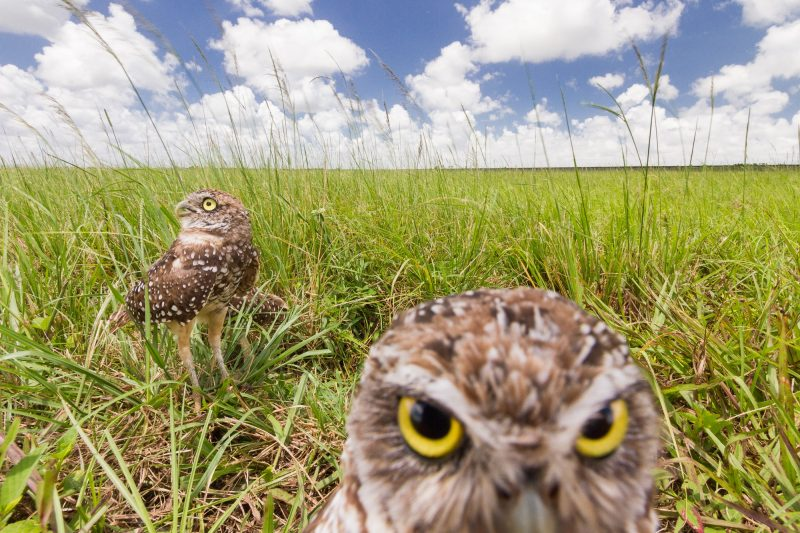 Burrowing owls are diurnal birds that make their home in the ground.
